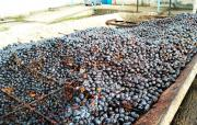 Blue plums just arrived to our distillery